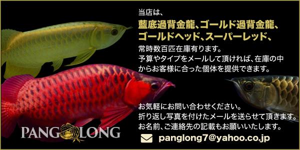 PANG LONG 藍底過背金龍、ゴールド過背金龍、ゴールドヘッド、スーパレッド、お気軽にお問い合わせください。